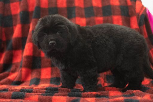 Newfoundland Puppy For Sale In Cuyahoga Falls Oh Adn 70187 On Puppyfinder Com Gender Male Age 7 Weeks Old Newfoundland Puppies Puppies For Sale Puppies
