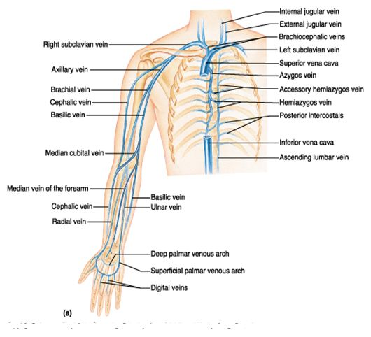 Veins Of Upper Extremity Anatomically Correct