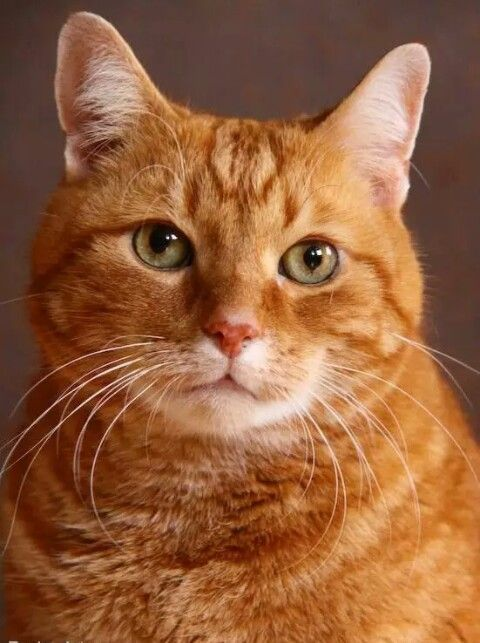 Previous Pinner Said This Look Like My Guy Orange Tabby Cats Tabby Cat Pretty Cats