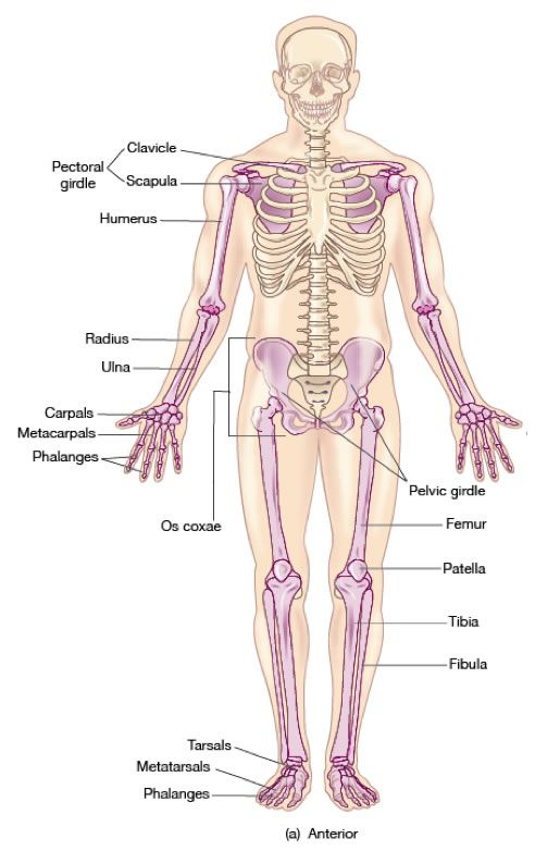 skeletons on pinterest : appendicular skeleton diagram - findchart.co