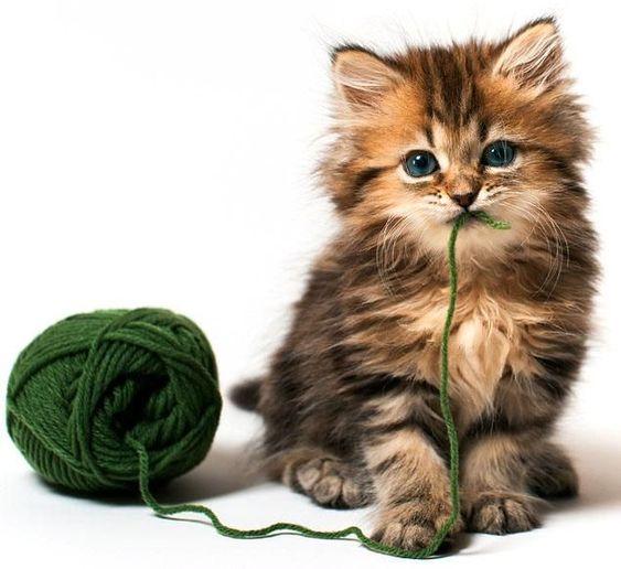Daisy #kitten eats #yarn.  #cat #model #photography #pets #animal #cute: