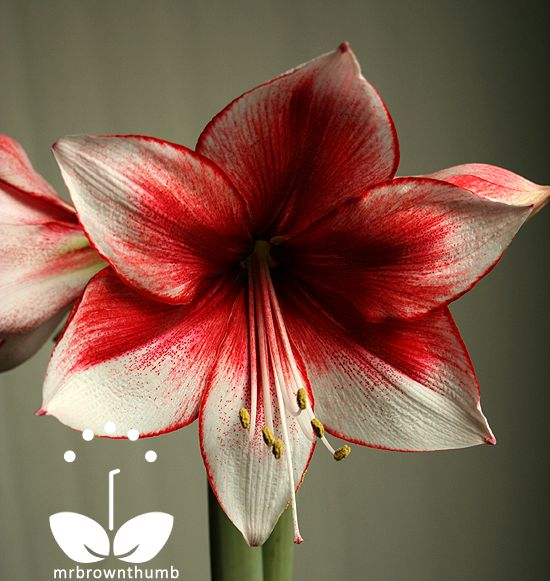 Pinterest the world s catalog of ideas for Signification amaryllis