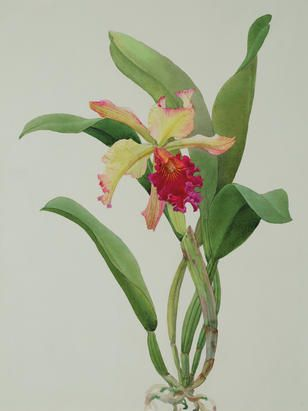 Andrey Nikolaevich Avinoff (1884-1949) 'L.C. Derna orchid', circa 1947, inscribed with number '25' and title, further inscribed 'unpublished' (on verso), pencil and watercolour on paper laid on artist's board.