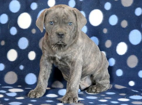 Cane Corso Puppy For Sale In Mount Joy Pa Adn 64355 On Puppyfinder Com Gender Male Age 7 Weeks Old