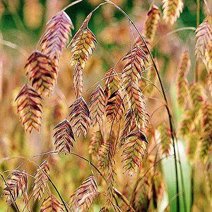 Feather Reed Grass Southern Garden Plants Native Plants