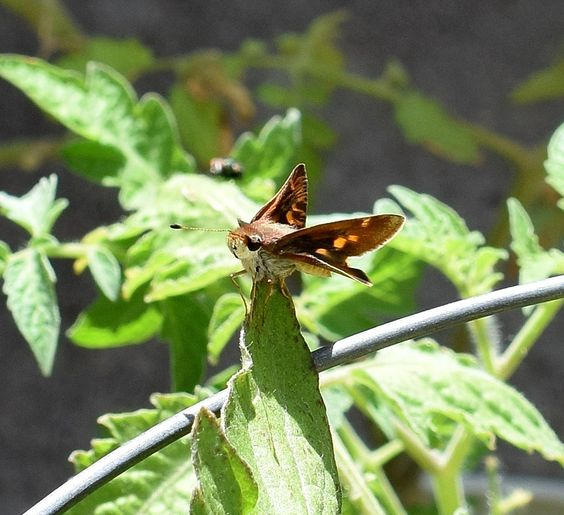 I found this little visitor on one of our tomato plants. It looks like a moth, but is actually a butterfly.