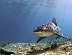 Pregopontocom Tudo: Aprovado plano de conservação de tubarões e raias marinhos...