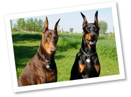 Doberman Pinschers originated in Germany as military and police dogs. These loyal dogs need plenty of daily exercise and can be very obedient when trained from an early age.