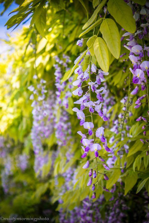"""gardenofgod: """"Spring Wisteria, by mistymorningphoto. """":"""
