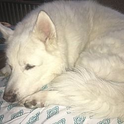 Chicago Il Alaskan Malamute Meet Ali A Pet For Adoption