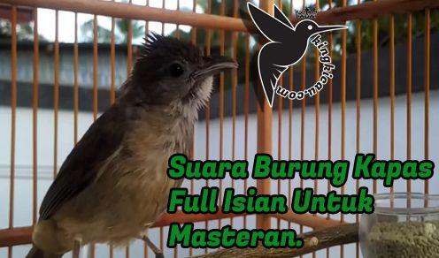 Download Suara Burung Kapas Tembak Mp3 Full Isian Masteran Di 2020 Burung Suara Habitat