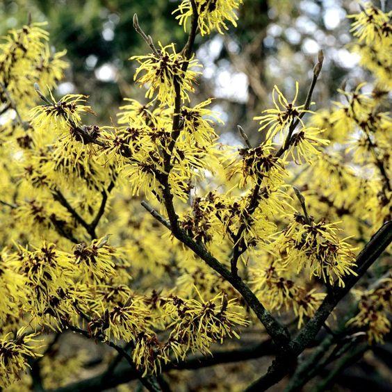 Autres espèces et cultivars Hamamelis mollis 'Pallida'
