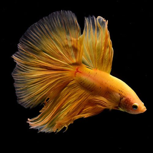 Live Betta Fish Super Yellow Ohm Sy49 From Thailand Aquarium Fish For Sale Live Aquarium Fish Fish