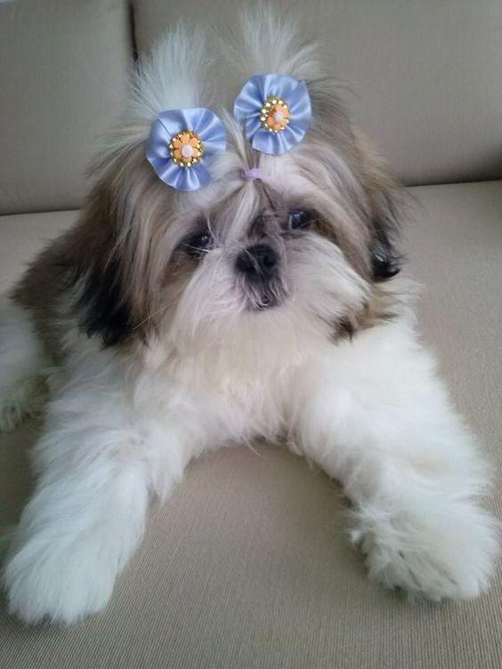 Shih Tzu Puppies Cute Pictures And Facts Shih Tzu Puppy Shih