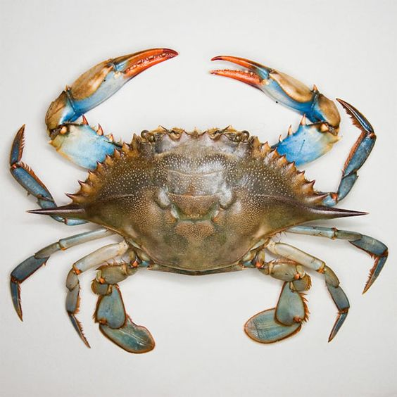 The outer banks nature and design trends on pinterest for Blue crab fishing