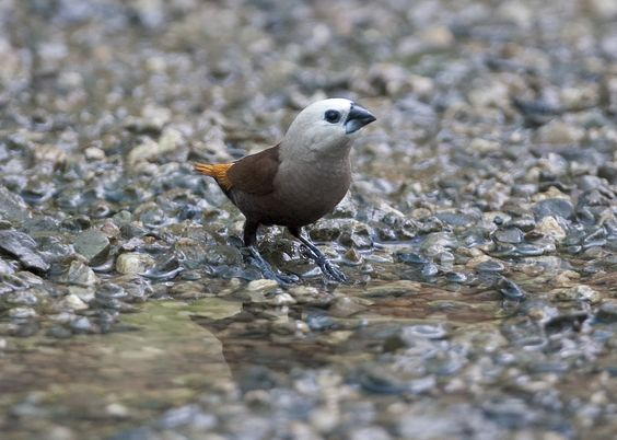 grey-headed mannikin or grey-headed munia / cероголовая муния (lonchura caniceps)