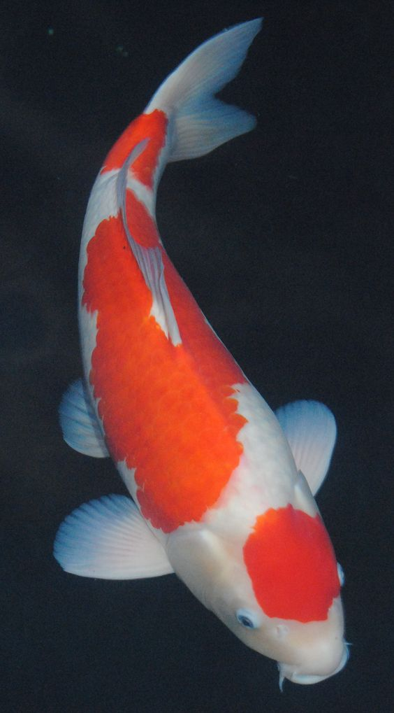 Maruten kohaku isa beautyful japanese koi pinterest for Real blue koi fish
