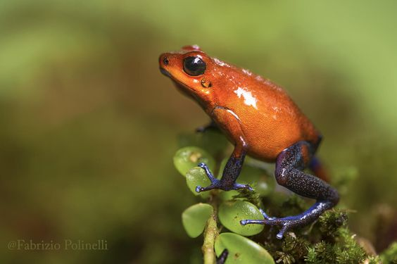 red frog by Fabrizio Polinelli / 500px