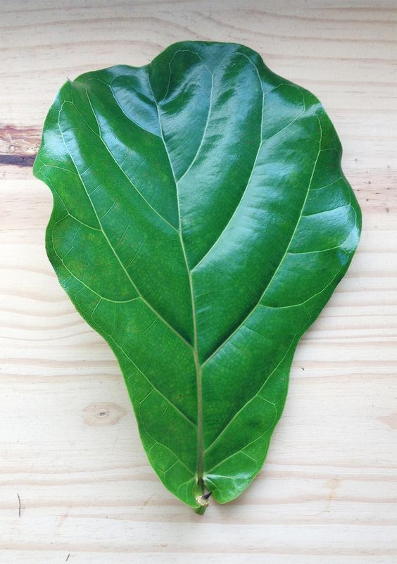fiddle leaf fig size shape