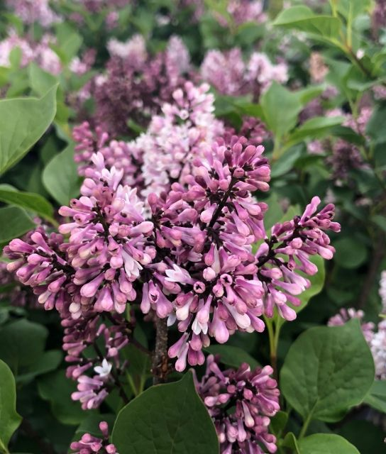 Little Darling Lilac What S Better Than A Fragrant Lilac One That Blooms Twice A Year Large Clusters Of Dark Purple B Monrovia Plants Plants Monrovia Shrubs