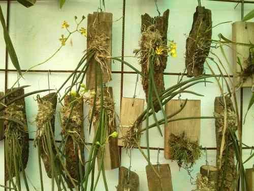 orquideas oncidium cebolleta , Pesquisa Google