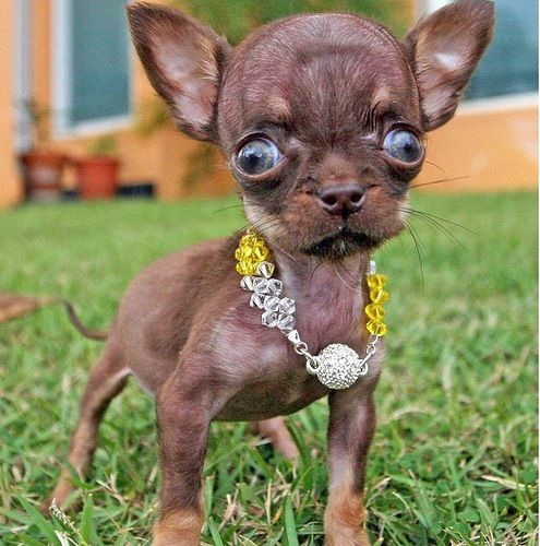 Tiniest dog Milly the Chihuahua in the Guinness Book of Records
