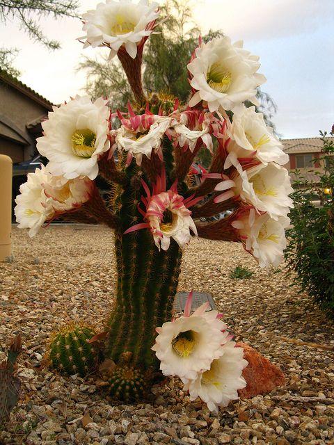 cactus flower: