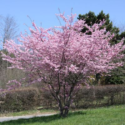 Cerisier fleurs du japon prunus 39 accolade 39 arbres for Arbuste ornemental