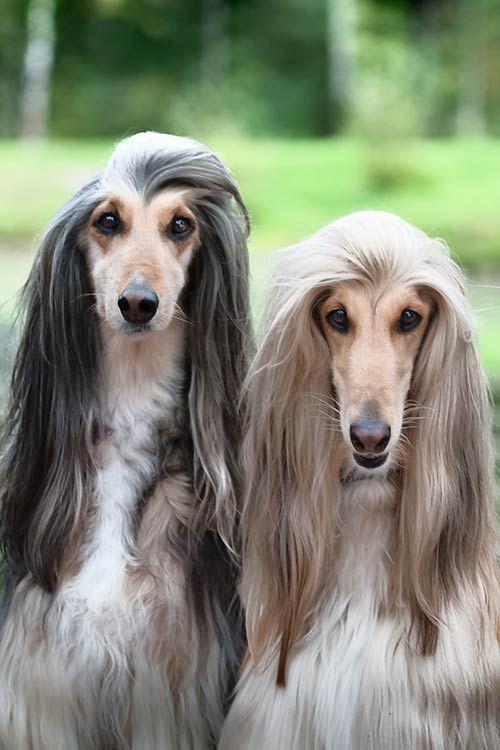 Image Result For Afghan Hound Afghanischer Hund Hassliche Hunde Afghanischer Windhund
