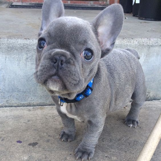 Blue french bulldog puppies, Blue french bulldogs and