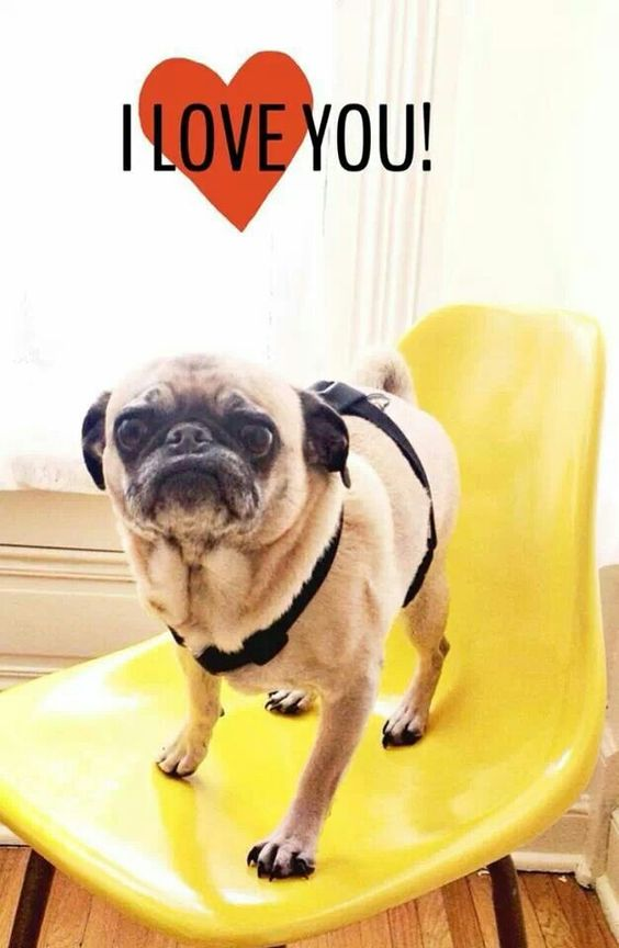 pug says i love you puggie says i love you lovin me some pugs pinterest 1658