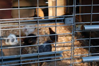 Timber Creek Farm: Recycled Metal Shelving for Chicken Pen
