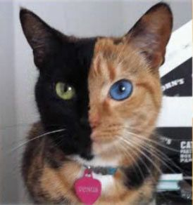 This gorgeous split-faced cat is NOT Photoshopped - she's a rare chimera. Here's her story.