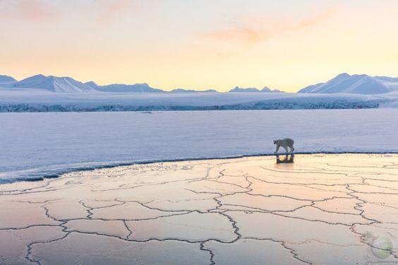 Прогулка белого медведя