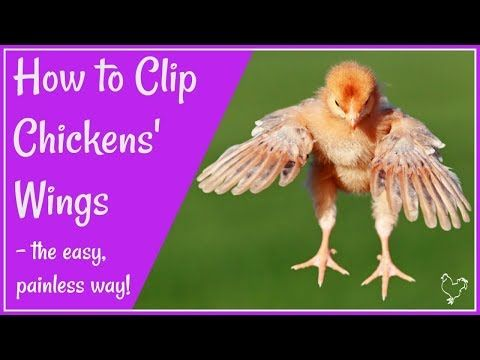 Are Your Birds Flying The Coop Clipping Chickens Wings Chicken Wings Pet Chickens