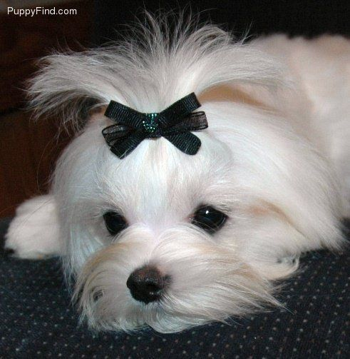 Maltese Beautiful Small And Devoted To You Maltese Beautiful