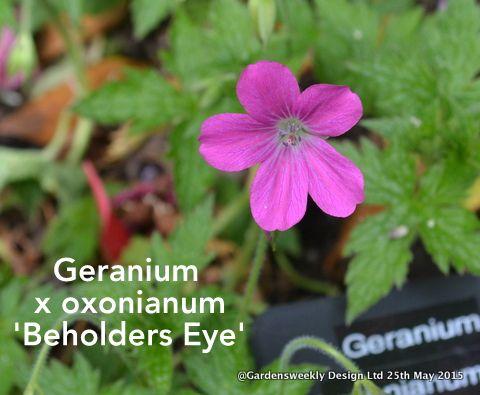 Geranium x oxonianum ' Beholders Eye'