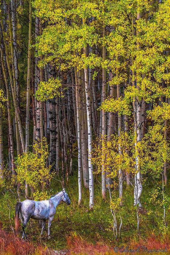 Horseback in Golden Country - White Horse by Golden Trees at Kebler Pass Colorado