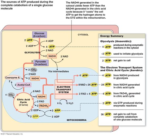 Electron Transport Chain And Krebs Cycle Google Search Biochemistry Notes Biochemistry Science Biology