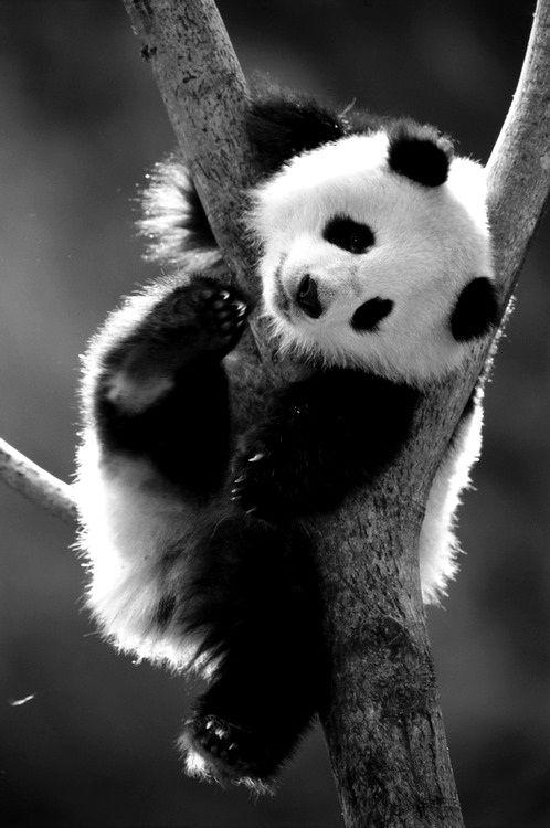 Le Panda est une espèce d'ours, doté d'un système digestif de carnivore... mais il se nourrit à 99% de bambous.