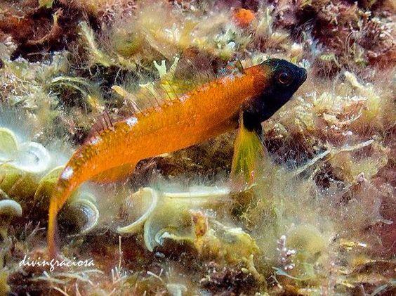 Black-faced blenny - by Rolando Divingraciosa Diver #reef #coralreef #ocean #fish #pods