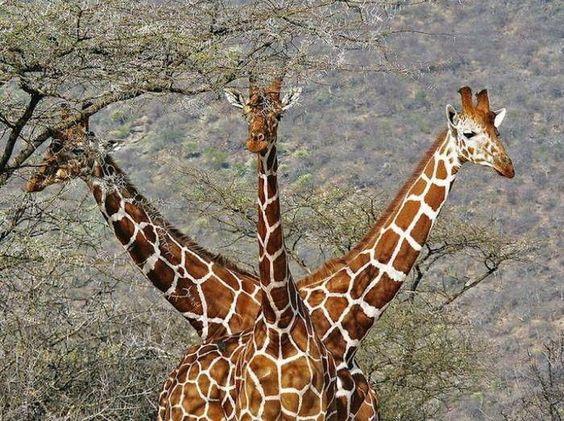 Girafe à trois têtes
