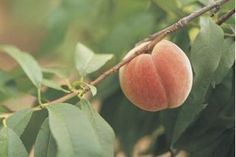 How to Prepare Peach Seeds for Planting (7 Steps)   eHow