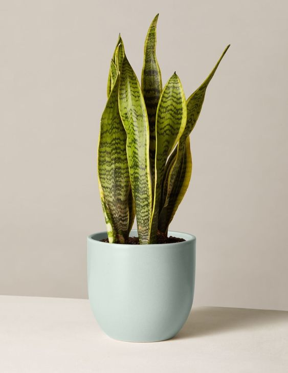 How to Create the Perfect Bedroom Plant Shelf // Snake Plant Laurentii, The Sill ($52)