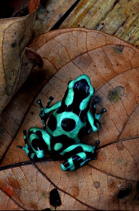 Poison dart frog (Dendrobates Aratus), Costa Rica by Paul Bratescu || Uncropped original on click