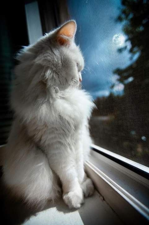 White Cat In The Window Cat Whitecat Catart Pets Cats And Kittens Kittens Pretty Cats