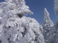 """Stunning """"Malcolm Snook"""" Artwork For Sale on Fine Art Prints Pine Trees In the Snow. http://imagekind.com/art/stunning/malcolm-snook/artwork-on/fine-art-prints"""