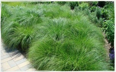 If you want to start a prairie garden, I recommend that you first plant Prairie Dropseed (Sporobolus heterolepsis). If you have a perennial ...