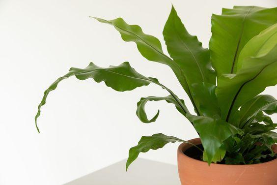 Bird's Nest Fern, a perfect pet safe indoor plant.