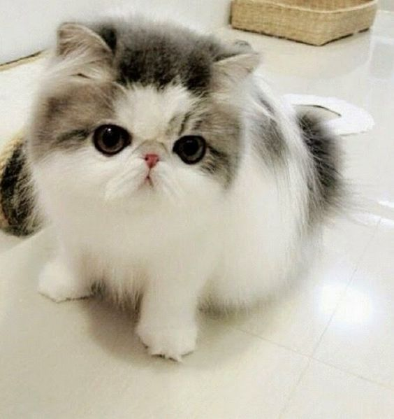 Top 5 Cute Breed of Cats | here kitty, kitty | Pinterest ...